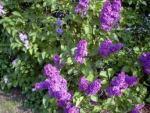 Perennial bushes